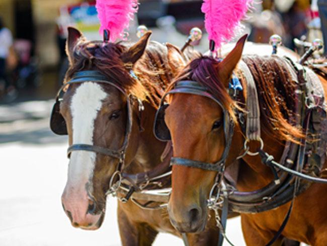 Baraat Horses at Gettysburg, Pennsylvania Hotel